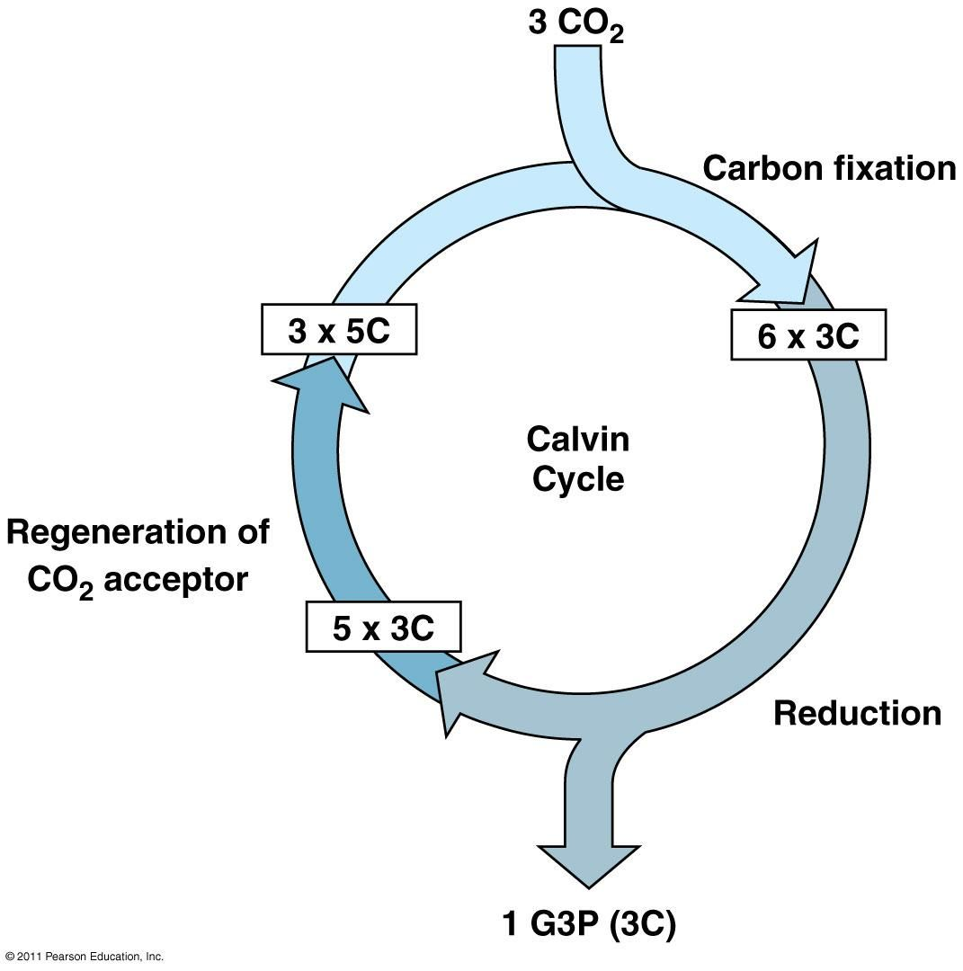 Calvin Cycle Diagram Simple