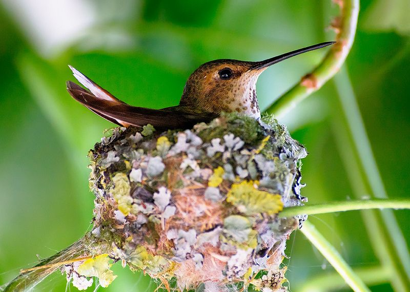 Rufous Hummingbird Hatching Colibri