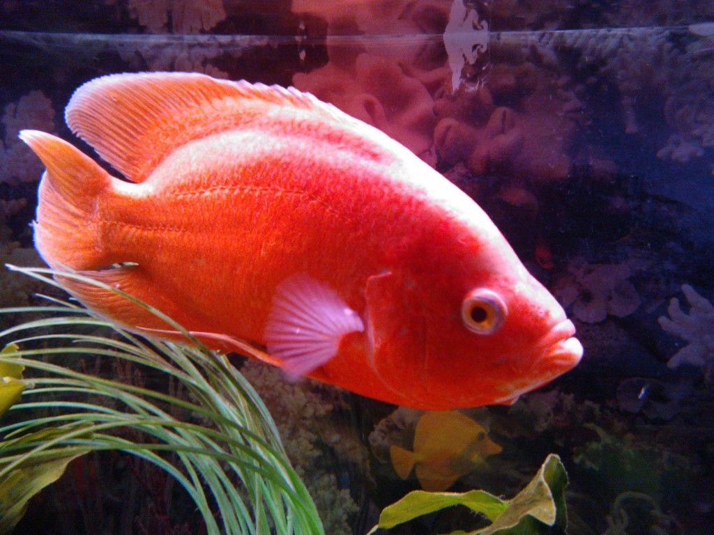 Albino Red Oscar Fish | www.imgkid.com - The Image Kid Has It!
