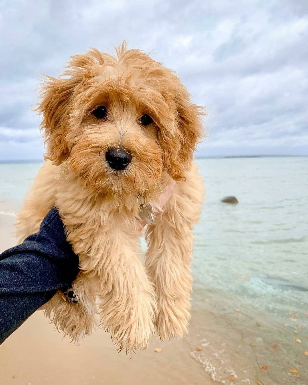Pin By Stacey Bolick On Fur Babies In 2020 Goldendoodle Puppy Miniature Goldendoodle Puppies Goldendoodle Miniature