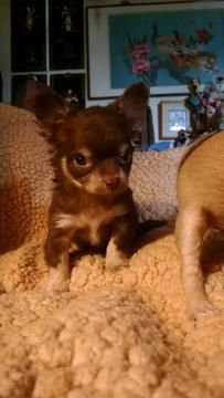 Chihuahua Puppy For Sale In Apple Valley Ca Adn 21120 On
