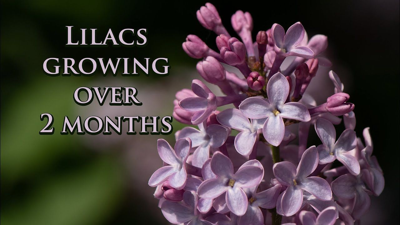 Buds To Blossoms Heirloom Lilacs Growing Over A Season With Images Lilac Blossom Lilac Bushes