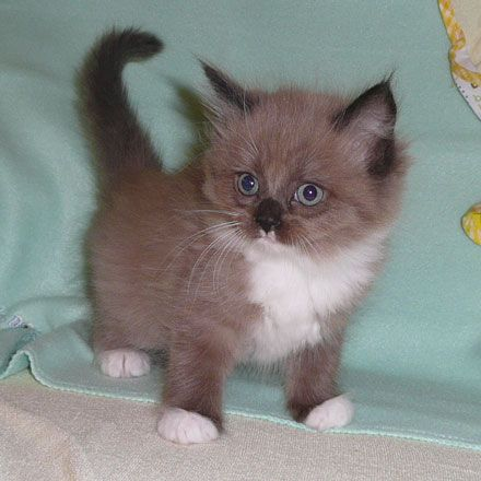 A Ragamuffin Kitten Munchkin Kitten Kittens Cutest Cute Cats