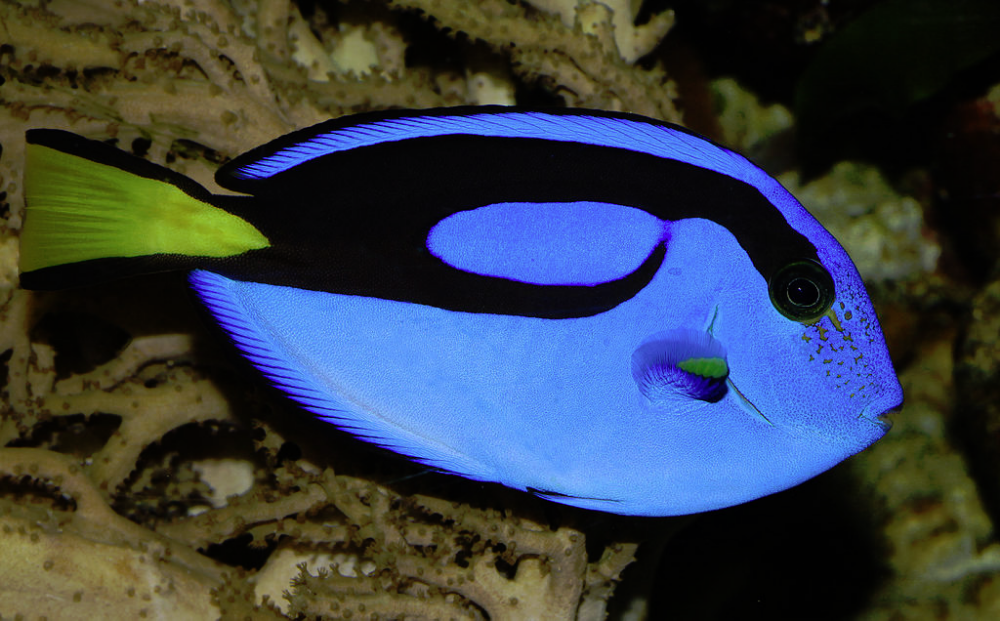 Finding Out About Dory 5 Facts On The Blue Tang National Geographic Education Blog In 2020 Tropical Fish Pictures Ocean Creatures Blue Tang