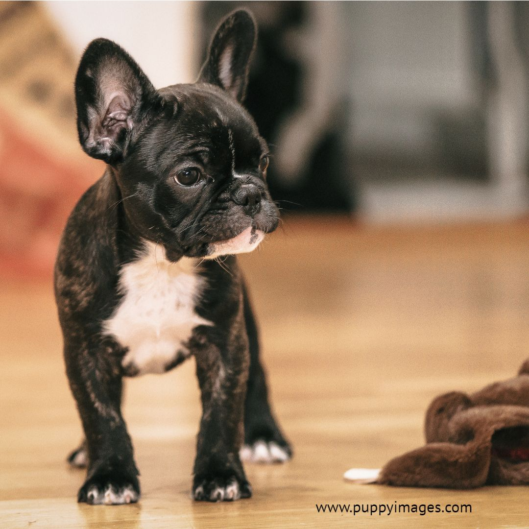 Black And White French Bulldog Puppy Bulldog Puppies White