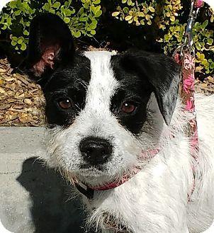 Boston Terrier Border Collie Mix Puppy For Adoption In Buena Park California Dana Pets Dog Adoption Boston Terrier Funny