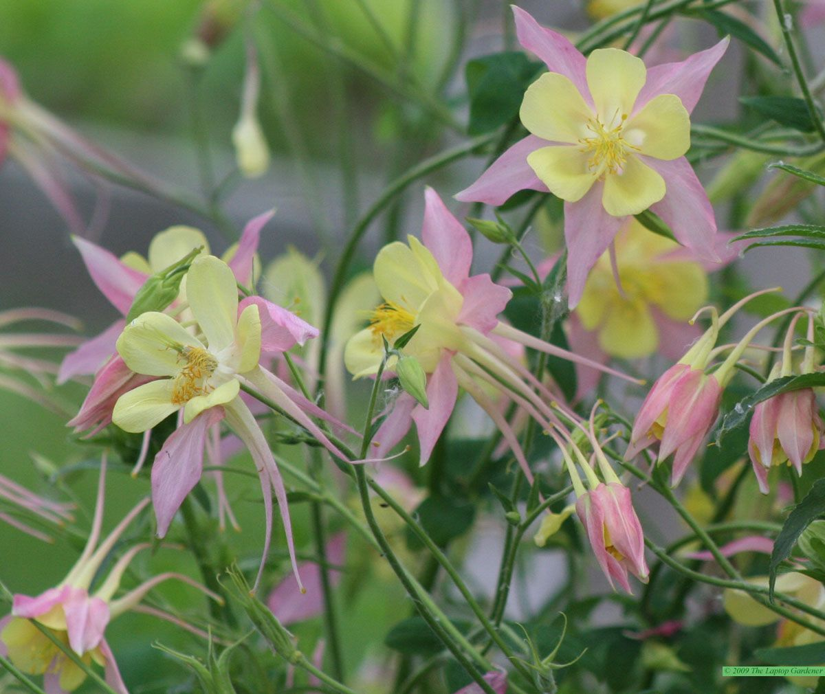 Columbine grannys bonnet aguilena origami mix aquilegia is a columbines plant care and collection of varieties izmirmasajfo