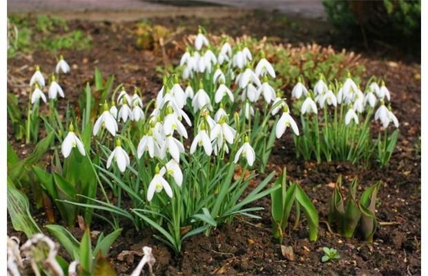 Photos Ten Varieties Of Snowdrops To Look For In Vancouver Flowers Perennials Plants Large Flowers