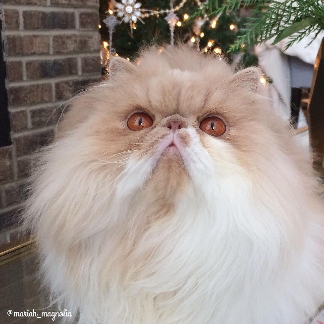 Happy Purrrrsday From Mariah Magnolia Persiancat Cute Cats And Kittens Persian Cat Cat Spray