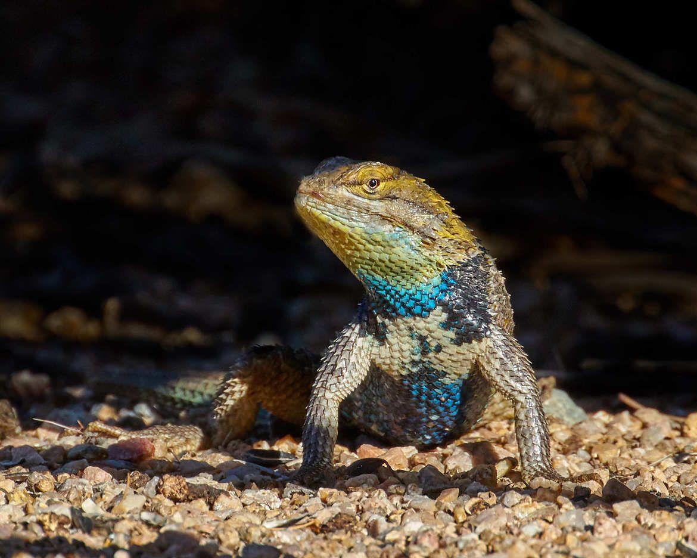 Desert Spiny Lizard, Scottsdale, AZ, United States   Amphibians ...