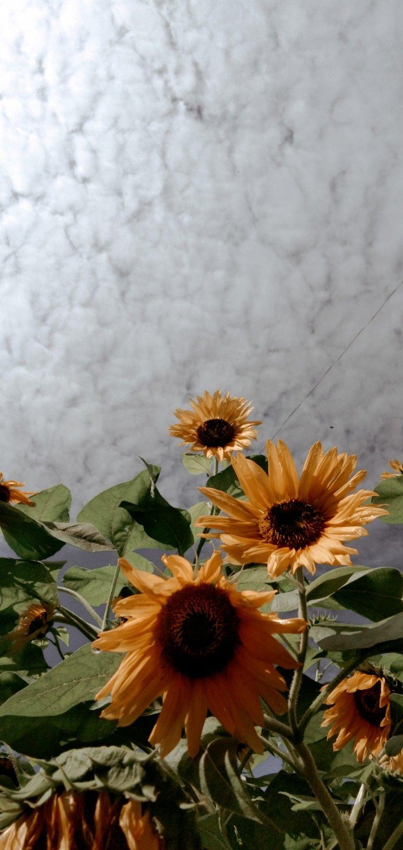 Bunga Matahari Sunflower Wallpaper Sunflowers Background Beautiful Flowers
