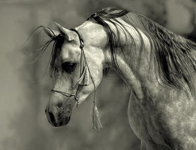The Arab horse:  intelligent, gentle, refined ...