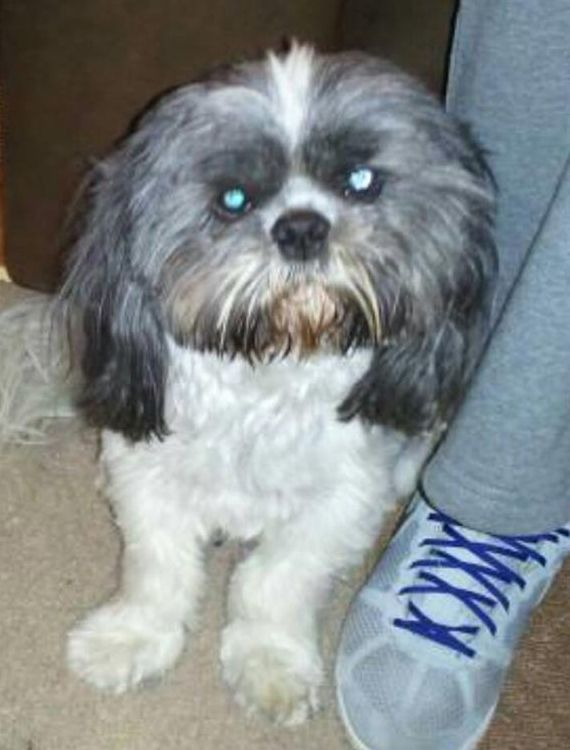 Lost Dog Male Toledo Oh Usa 43608 Losing A Dog Shih Tzu Dogs