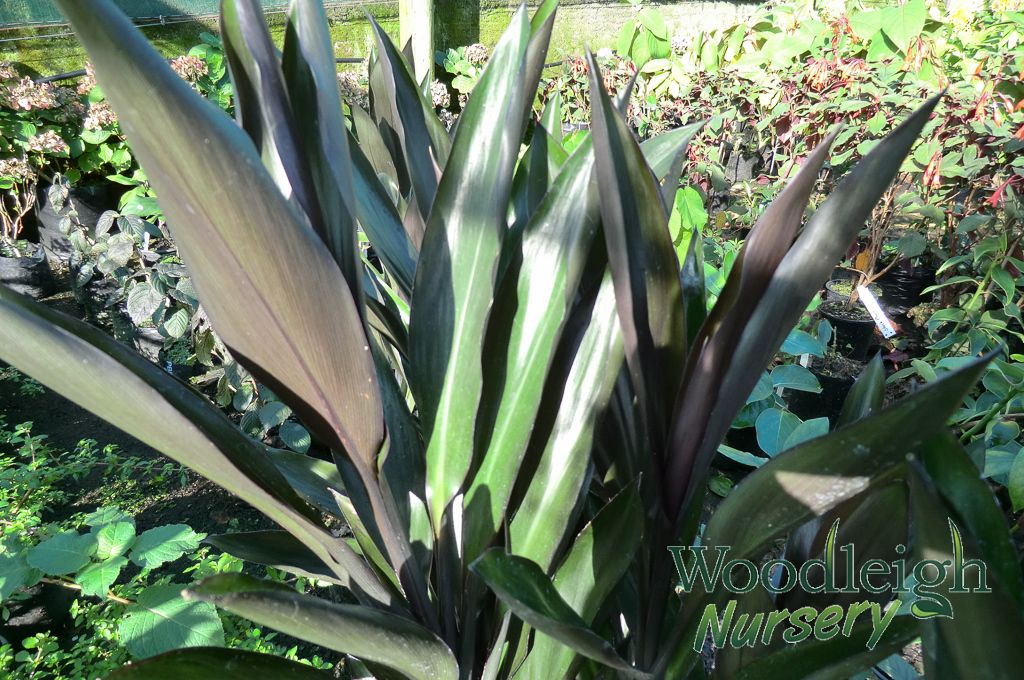 Cordyline Stricta Sold Out Shade Plants Plants Nursery
