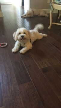 Cavachon Puppy For Sale In Raleigh Nc Adn 46870 On Puppyfinder