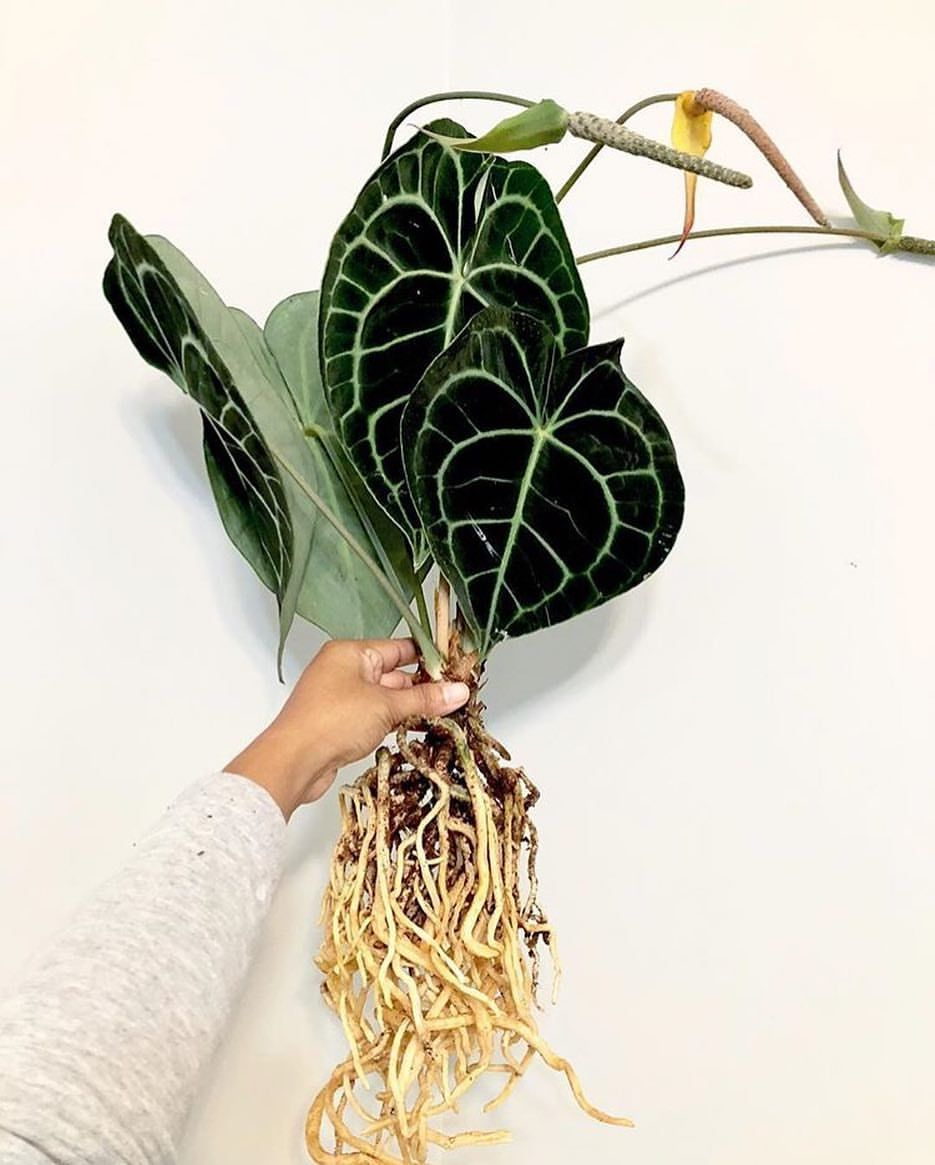 Mulhalls Pa Instagram Anthurium Clarinervium Showing Off Those Great Looking Roots Flowers But We Still Love I Trees To Plant Pretty Plants House Plants
