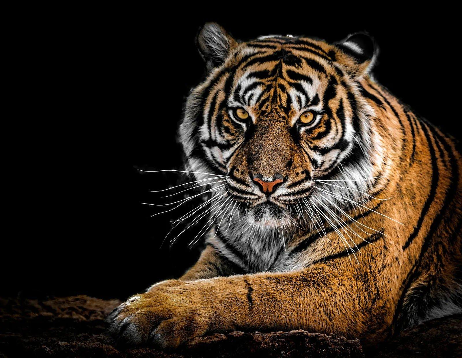 خلفيات حيوانات مفترسة 2020 Tiger Images Animal Photography Cat Care