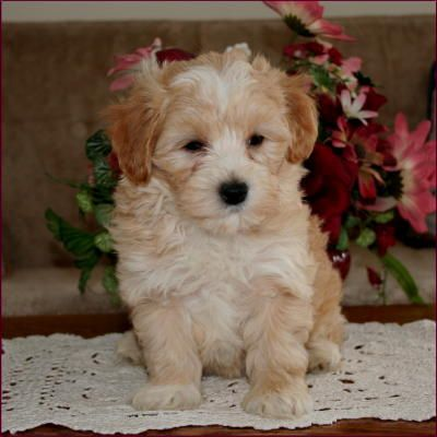Maltipoo Puppies For Sale Maltese Toy Poodle Mixed Breed Poodle Mix Breeds Maltipoo Puppy Maltipoo Puppies For Sale
