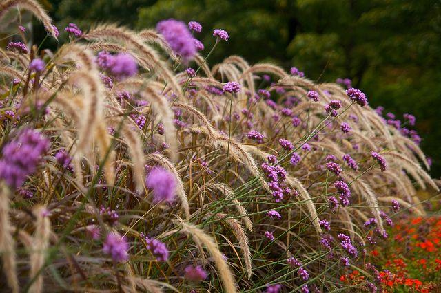 Img 1029 Verbena Grasses And Gardens