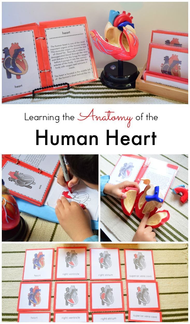 How to Teach the Anatomy of the Human Heart to Kids | Human heart ...