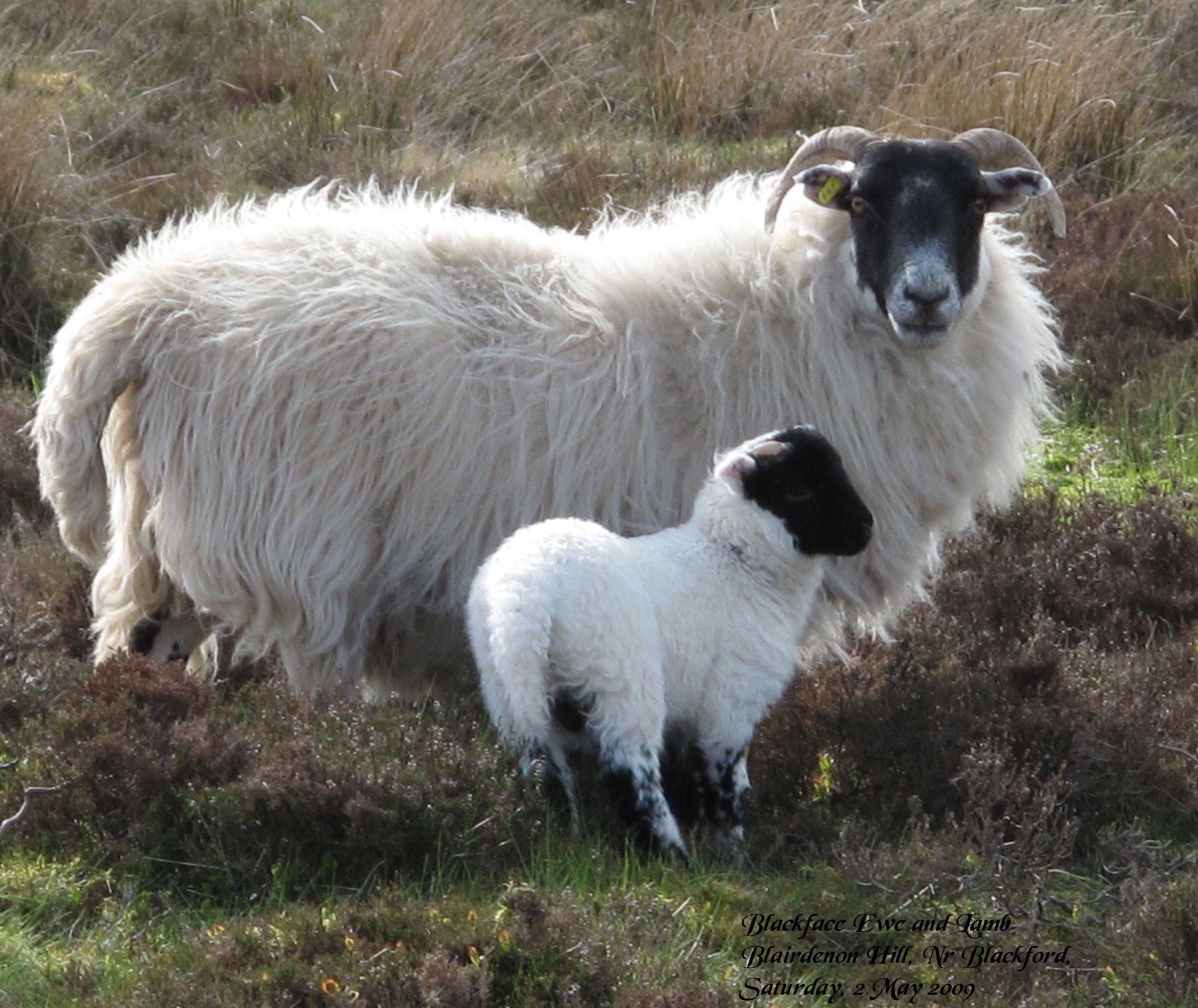 blackface ewe and lamb sheep pinterest lambs