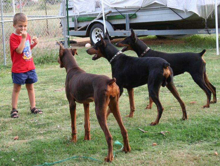 Don T Eat Bacon In Front Of A Pack Of Doberman Doberman Puppy