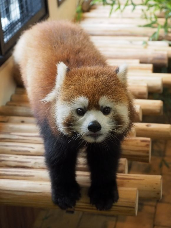 Red panda at the Adventure World in Wakayama prefecture, Japan