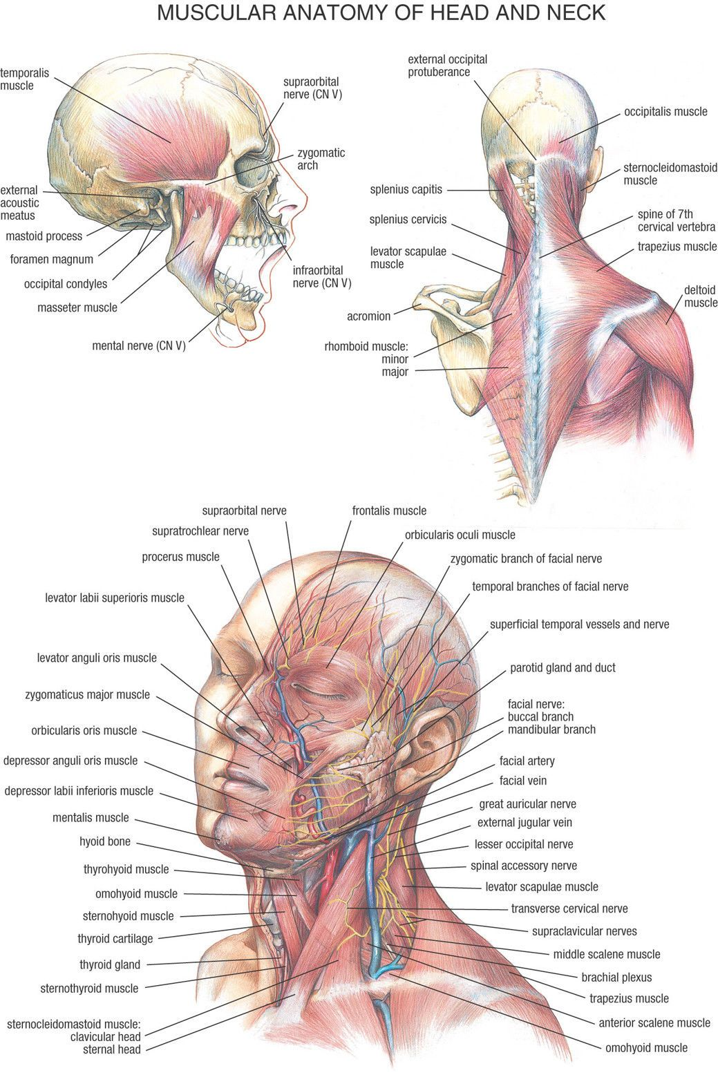 4 99 human muscular anatomy of head and neck poster chart body midcal education ebay collectibles [ 1039 x 1559 Pixel ]