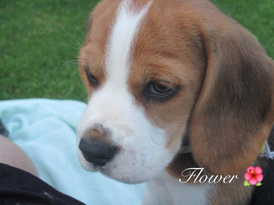 Find Out More Details On Beagles Visit Our Web Site In 2020 Beagle Puppy Lap Dogs Dogs