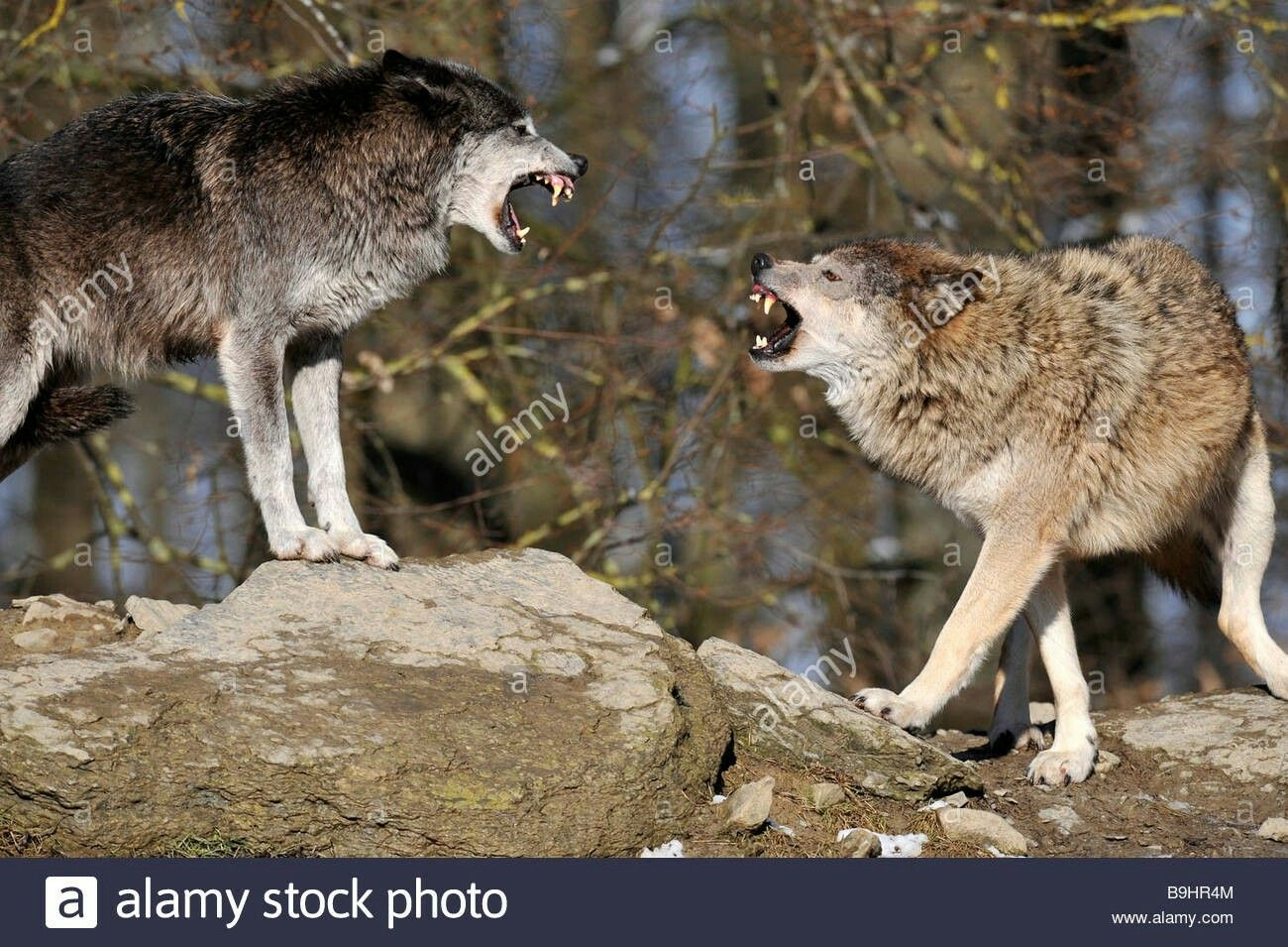 Pin by Alan on Wolves Reveal The Heart Wolves fighting, Wolf