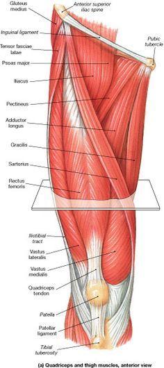 Muscle Identification- Muslo - La Unidad Especializada en Ortopedia ...
