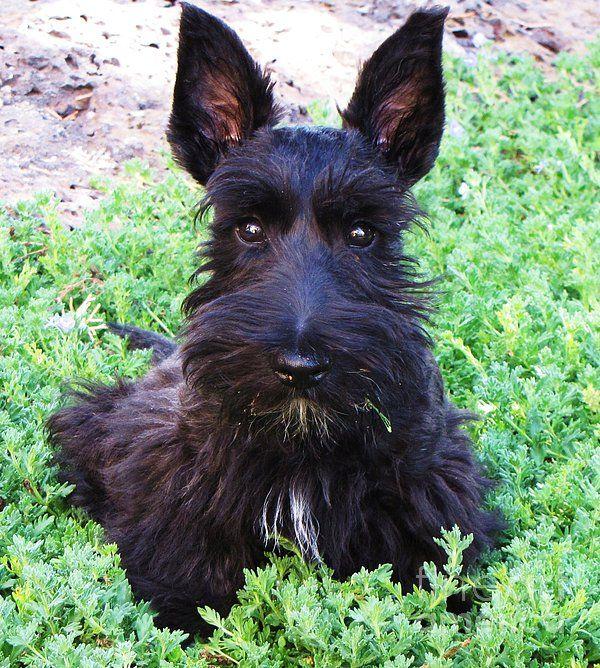 First Haircut Scottish Terrier Scottie Scottie Terrier