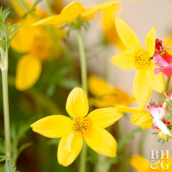 Bidens | Drought resistant plants, Plants, Large backyard ...