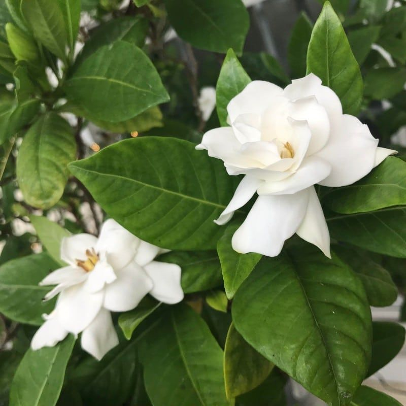 One Of The Main Causes For Gardenias To Drop Buds And Leaves Is Not Enough Light Mo In 2020 Smart Garden Garden Guide Gardenia Plant
