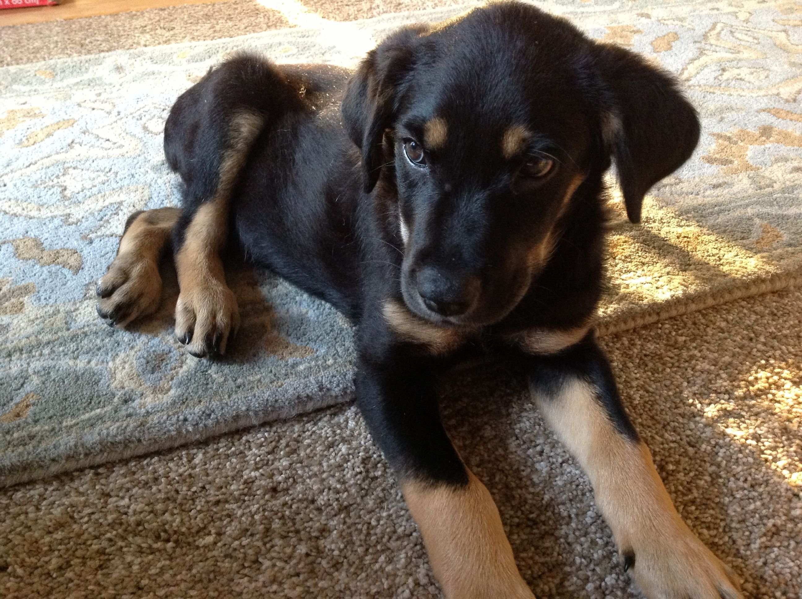 Black Lab X German Shepherd Awwwww Lab Mix Puppies Dog Breeds Pets