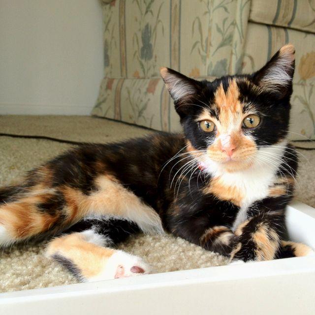 My Baby Katniss Calico Cat Calico Kitten Baby Cats Crazy Cats