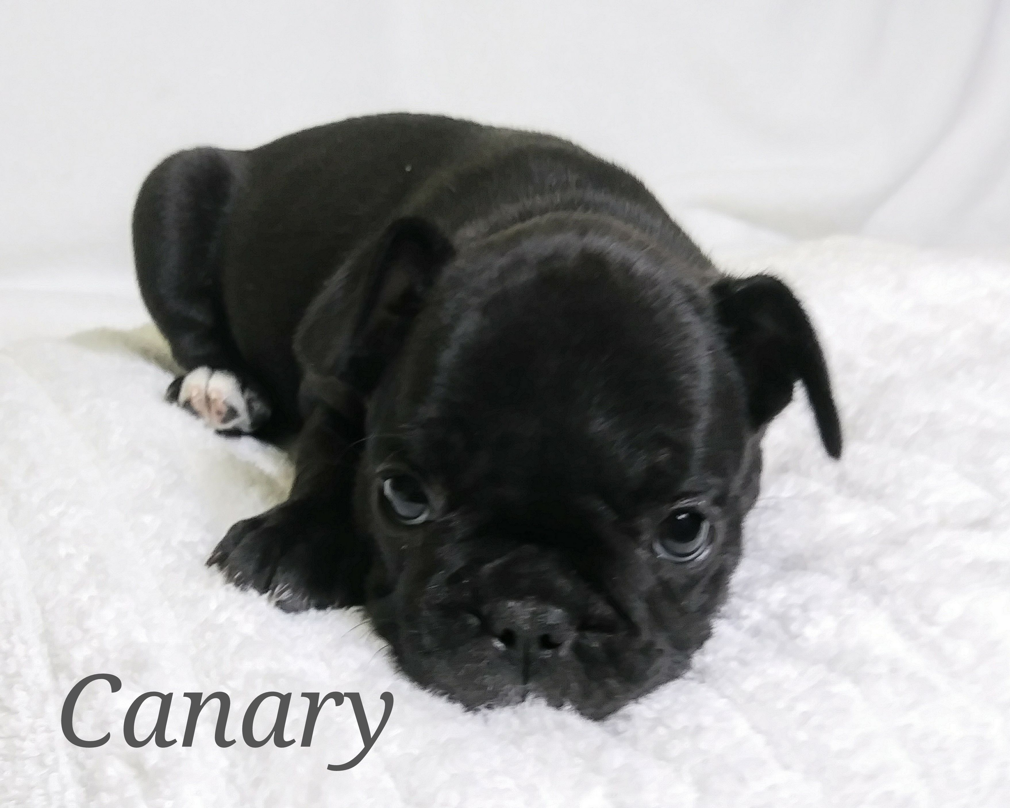 Canary a female AKC French Bulldog puppy for sale in