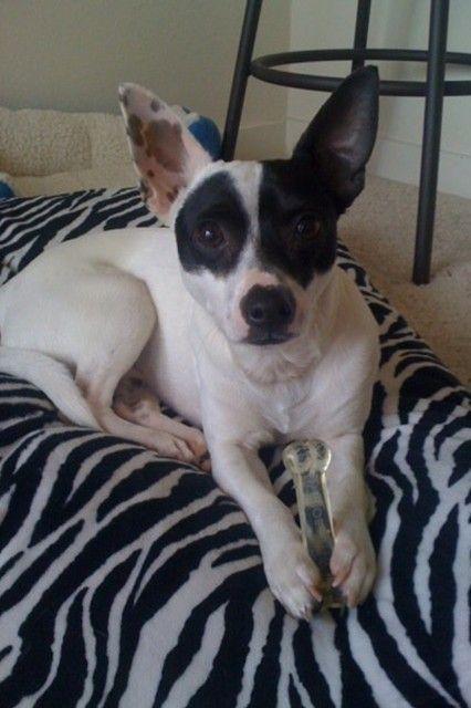 Meet Riley The Jack Rat Terrier What A Cutie Pet Store Rat Terriers Pets