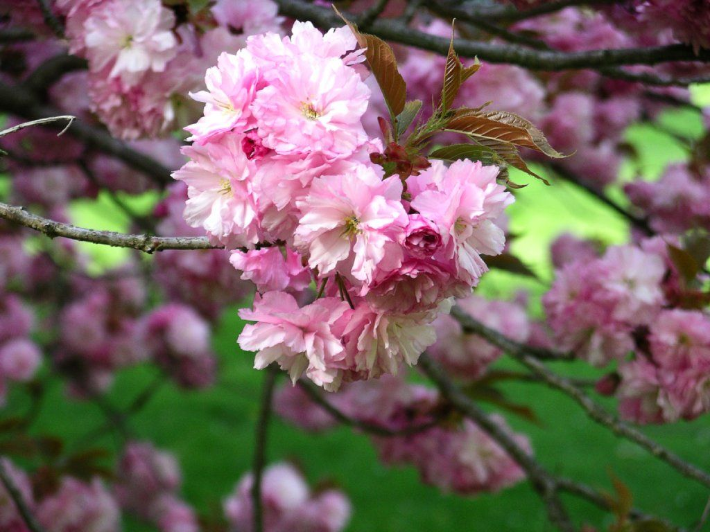My Beloved Is To Me A Cluster Of Henna Blossoms From The Vineyards Of En Gedi Song Of S Cherry Blossom Festival Cherry Blossom Japan Cherry Blossom Tree