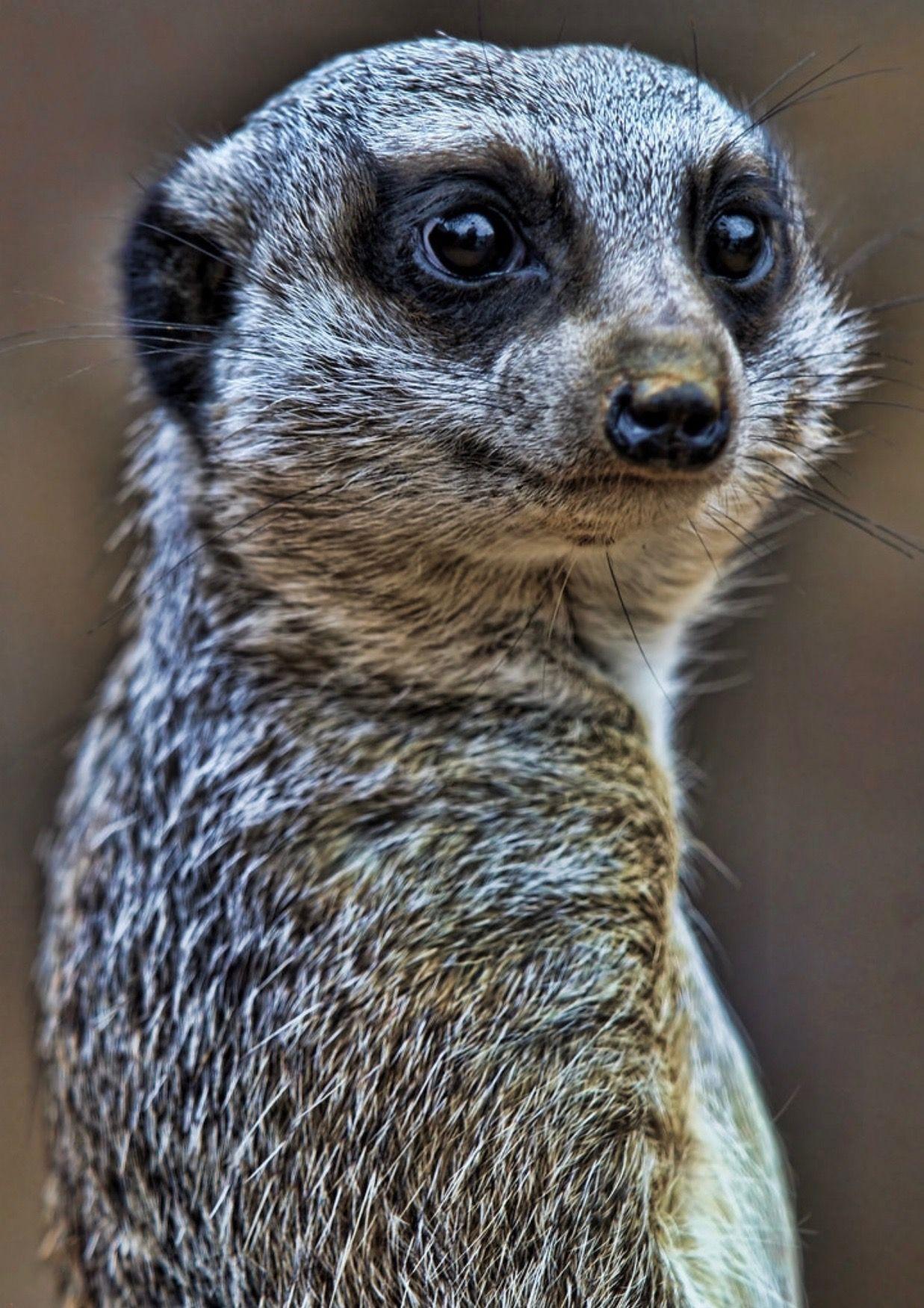 Animals image by rinny on animals Meerkat