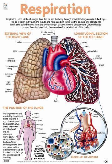 Respiration | | Be knowledgeable: speech anatomy | | Pinterest ...