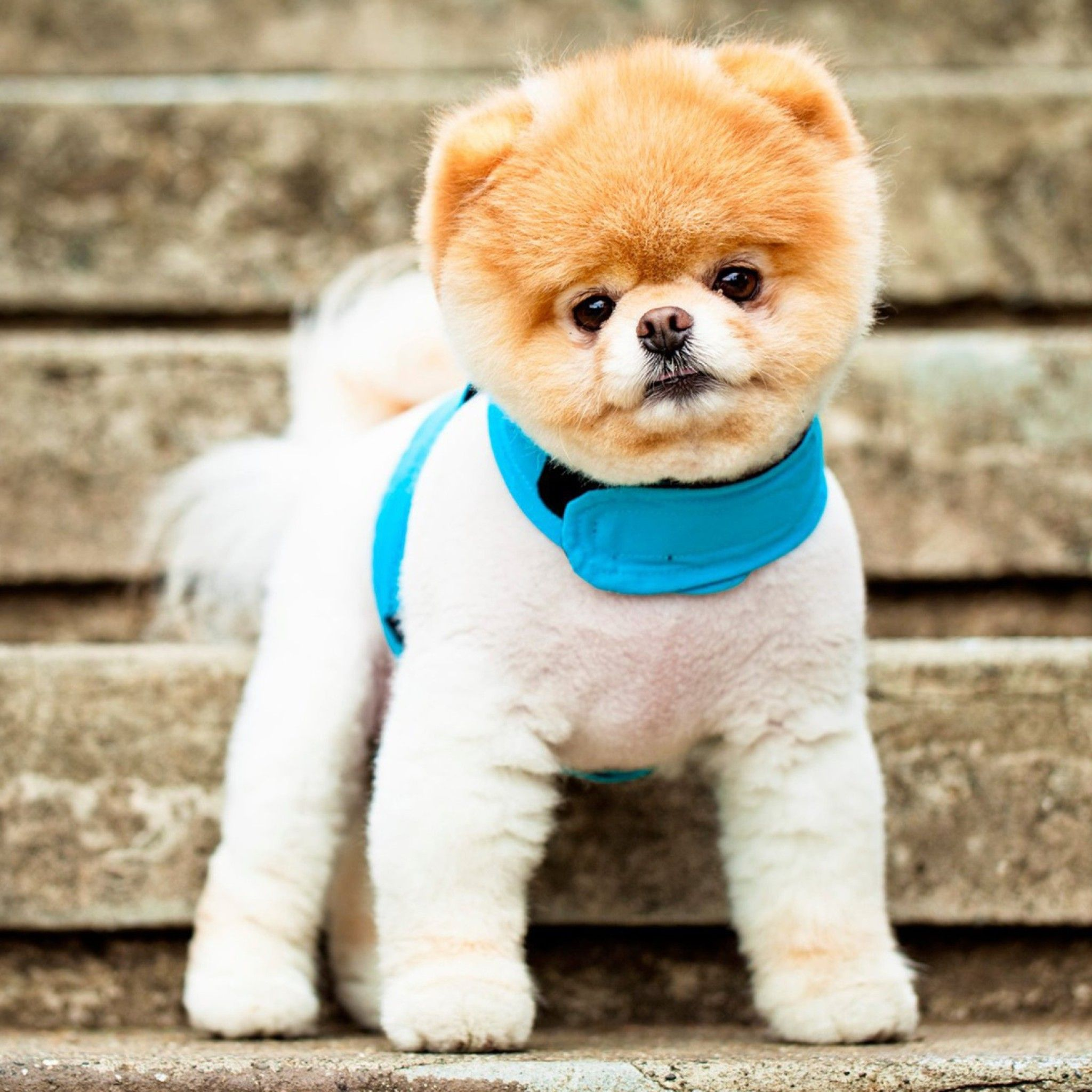 Boo the cutest dog tap to see more cute dog wallpapers mobile