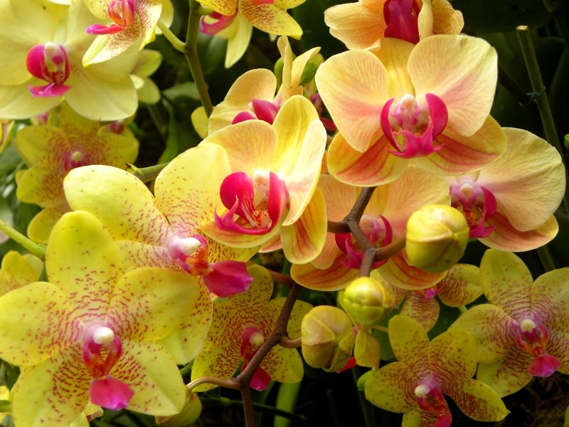 The New York Botanical Garden Explodes Into A Tropical Floral Extravaganza  For The Annual Orchid Show.