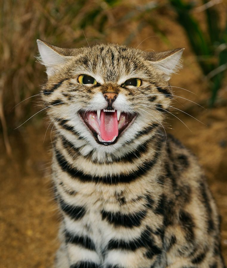 ..The blackfooted cat (Felis nigripes) is the smallest
