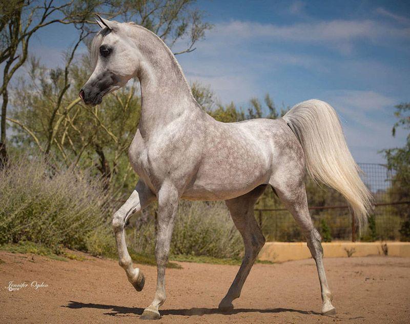 Al Fayeed Swf Color Of Fame De Arabian Horse Horses Beautiful Arabian Horses