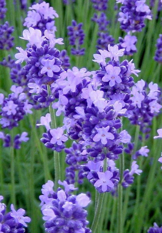 34 Different Types Of Purple Flowers For Your Garden Amazing Flowers Beautiful Flowers Types Of Purple Flowers