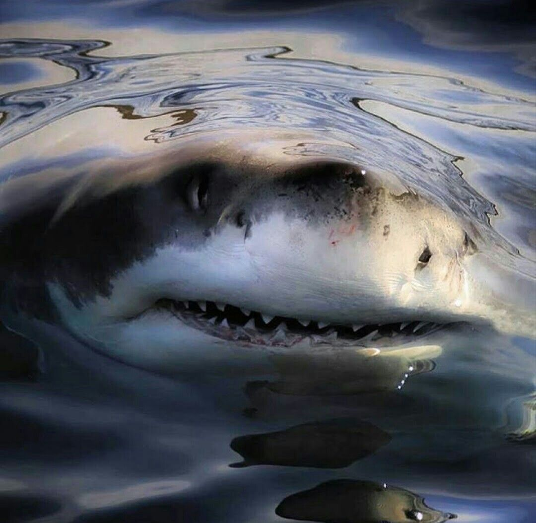 Pin By Brandon Smith On Cool Shit Shark Pictures Shark Great White Shark