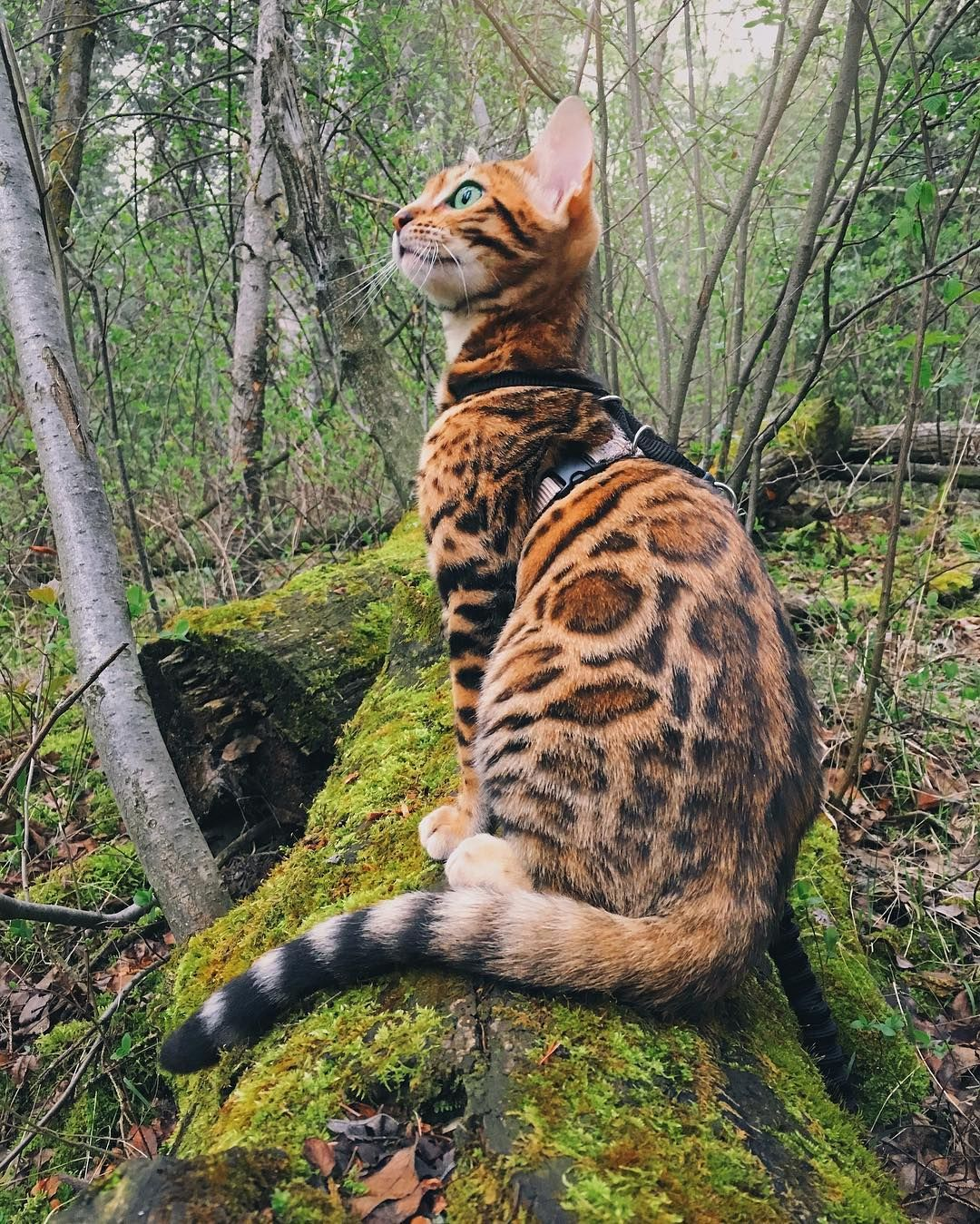 12 6k Likes 123 Comments Spirit Nectar Spiritnectar On Instagram My Little Forest Kitty S Beautiful Cats Bengal Cat Cute Cats And Kittens
