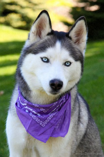 The Siberian Husky Is An Ancient And Steadfast Breed That May Have
