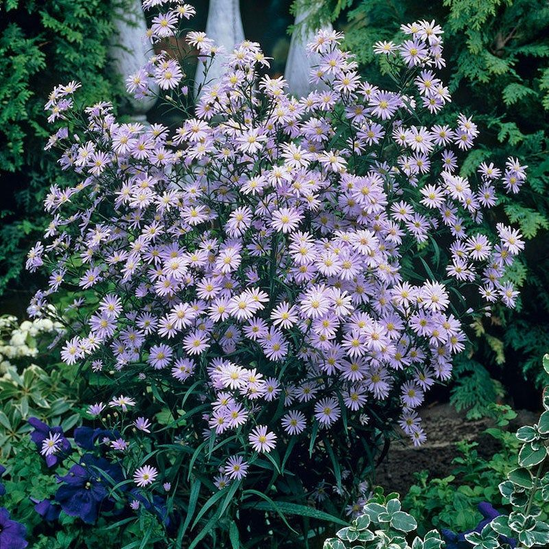 Wood S Blue Aster Front Yard Plants Aster American Meadows